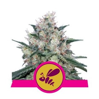 Royal Queen Seeds Honey Cream female 10er