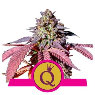 Royal Queen Seeds Purple Queen female 5er