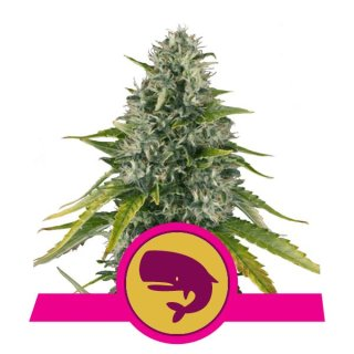 Royal Queen Seeds Royal Moby female 10er