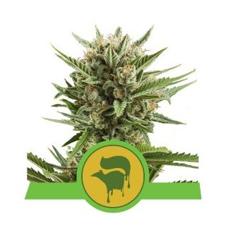 Royal Queen Seeds Sweet Skunk autofem 10er