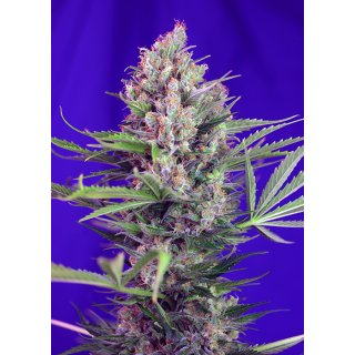 Sweet Seeds Cream Mandarine F1 Fast Version female 5er
