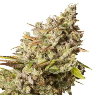 Royal Queen Seeds Royal Gorilla female 3er