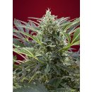 Sweet Seeds Cream 47 female 5er