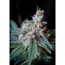 Sweet Seeds Cream Caramel F1 Fast Version female 3er