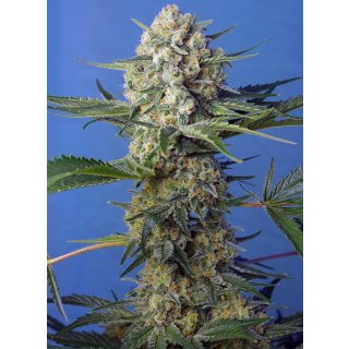 Sweet Seeds Crystal Candy F1 Fast Version female 3er