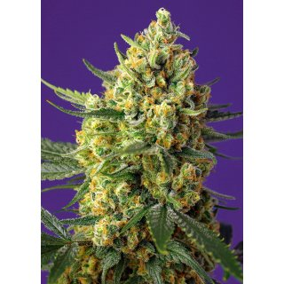 Sweet Seeds Crystal Candy XL autofem 5er