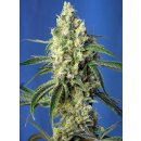 Sweet Seeds Green Poison CBD female 5er