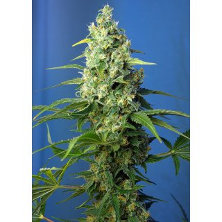 Sweet Seeds Honey Peach CBD autofem 3er