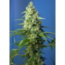 Sweet Seeds Honey Peach CBD autofem 5er