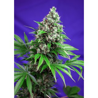 Sweet Seeds Killer Kush F1 Fast Version female 5er