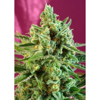Sweet Seeds S.A.D. Sweet Afgani Delicious CBD female 5er