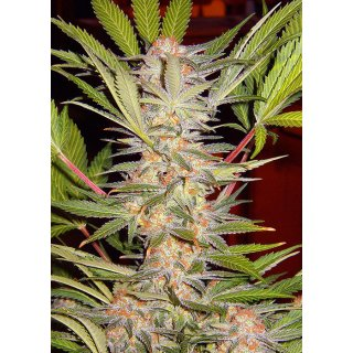 Sweet Seeds S.A.D. Sweet Afgani Delicious S1 female 5er