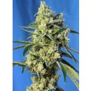 Sweet Seeds Sweet Amnesia Haze female 3er