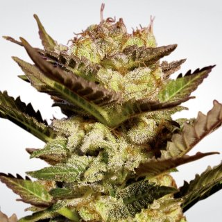 Paradise Seeds Durga Mata female 5er