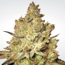 Paradise Seeds Jacky White female 3er