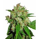Sensi Seeds Sensi Skunk female 5er