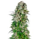 Sensi Seeds Big Bud autofem 3er