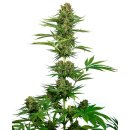 Sensi Seeds Satin Black Domina CBD female 10er