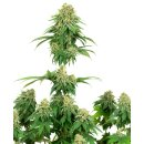 White Label Seeds Girl Scout Cookies female 5er