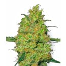 White Label Seeds Master Kush female 5er