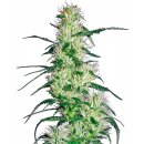 White Label Seeds Purple Haze female 3er