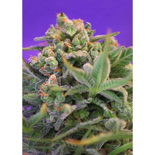 Sweet Seeds Sweet Cheese F1 Fast Version female 5er