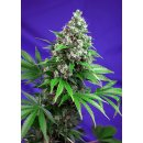 Sweet Seeds Killer Kush F1 Fast Version female 3er