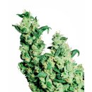 Sensi Seeds Jack Herer female 5er