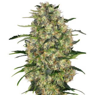 Sensi Seeds Black Domina female 5er