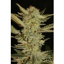 Serious Seeds Bubble Gum female 6er