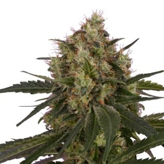 Royal Queen Seeds Ice female 3er
