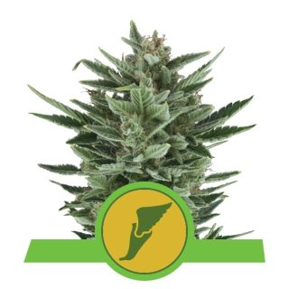 Royal Queen Seeds Quick One autofem 3er