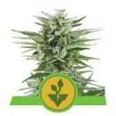 Royal Queen Seeds Easy Bud autofem 10er
